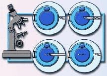 Imobilização e Microinjeção dos Espermatozóides
